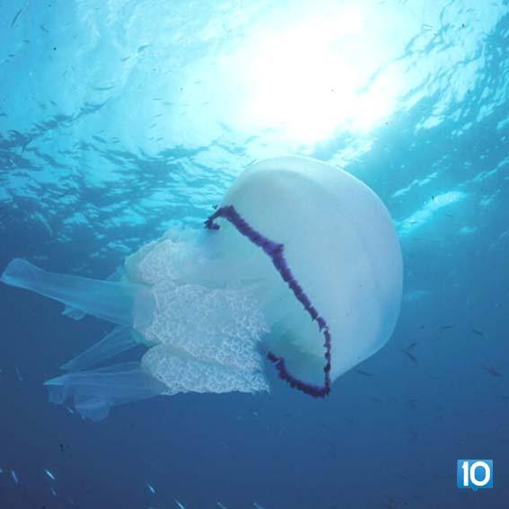 denizanasi-hepsi10numara