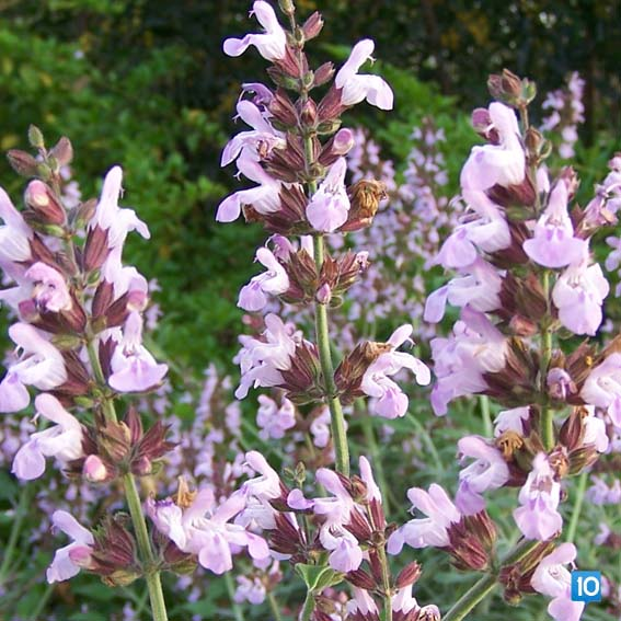 sifali-bitkiler-aroma