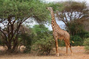 giraffe-16998_1920